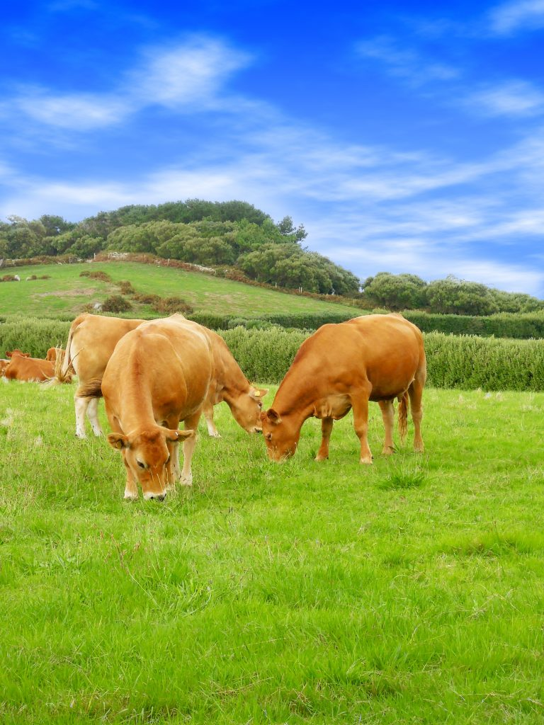 Cows on Tresco, Isles of Scilly