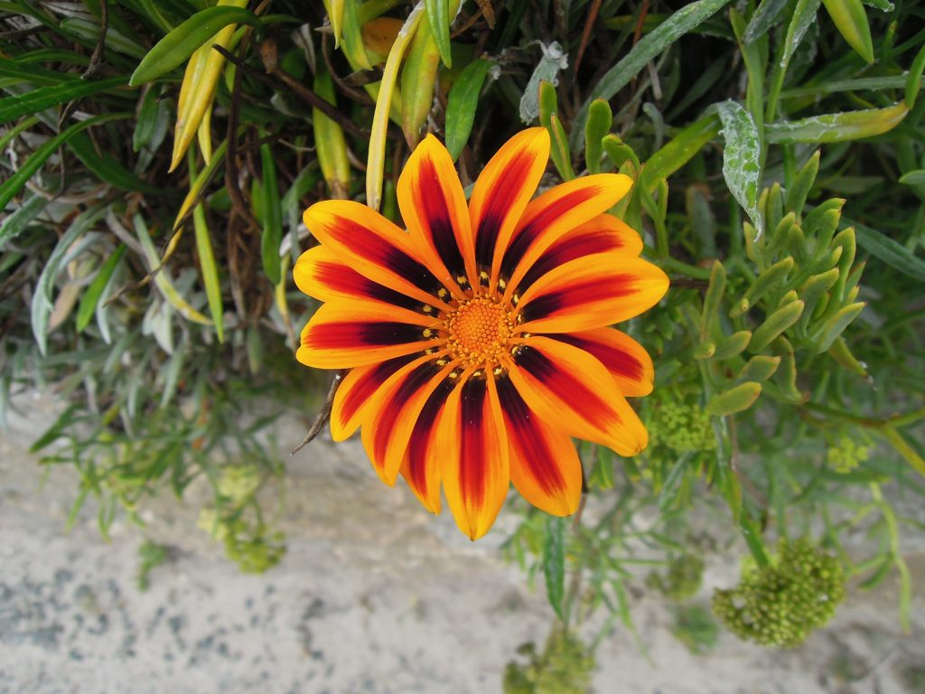Flower, Isles of Scilly
