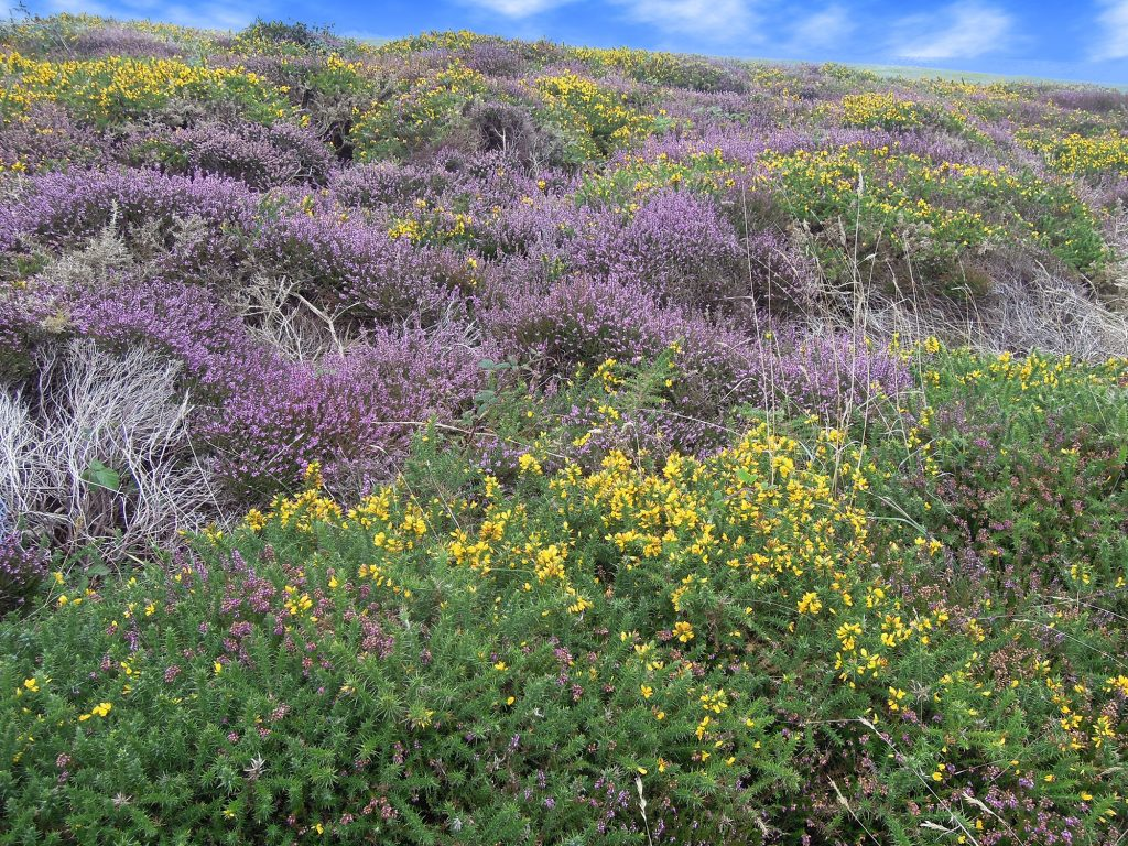 Heather and gorse, Isles of Scilly